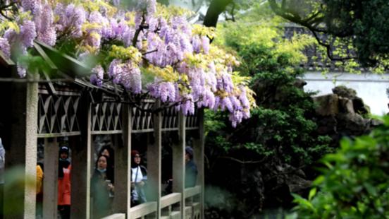 百年紫藤盛開